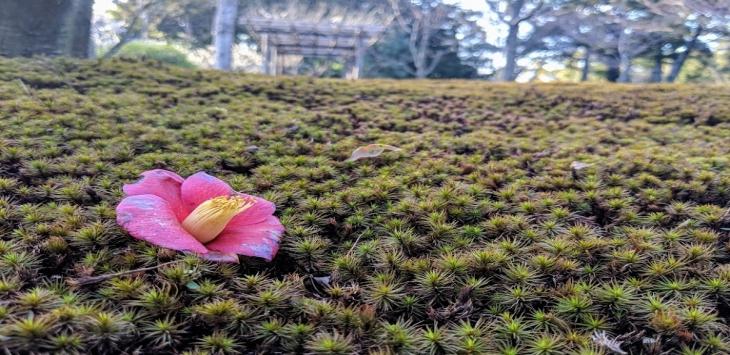 【京都】梅と椿の城南宮