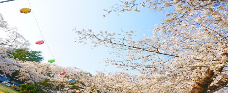【千葉】お花見&いちご狩り