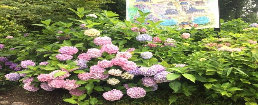 【奈良・矢田寺】梅雨の季節、紫陽花を見に行こう♪